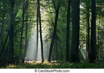 à feuilles caduques, rayon soleil, entrer, riche, forêt