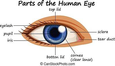 ábra, kiállítás, alkatrészek, szem, emberi