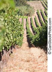 áfrica, -, vinhedo, sul, stellenbosch, capa, ocidental