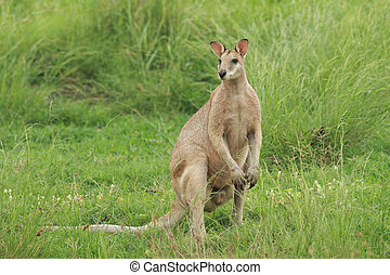 ágil, macho,  wallaby