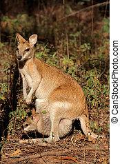 ágil, wallaby, e, bebê