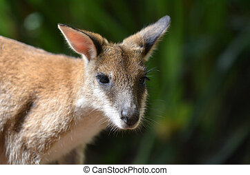 ágil, wallaby, em, queensland, austrália