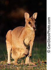 ágil,  wallaby