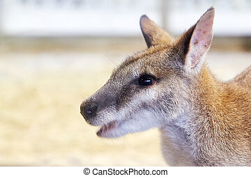 ágil, wallaby, (macropus, agilis)