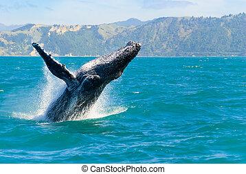 água, baleia, pular, saída, humpback