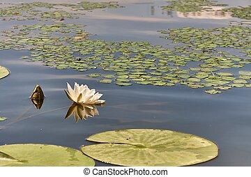 água branca lily