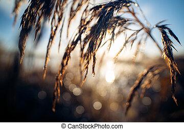 água, começo matutino, cana, cima, pluma, sol ascendente, gota, fim
