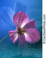 água, flor cosmos