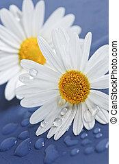 água, flores, gotas, margarida