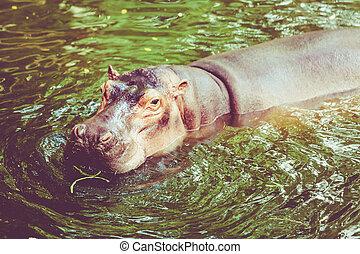 água, hipopótamo, hippopotamus., saída