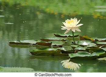 água-lírio, flores