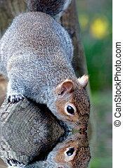 água, olhar, squirrell, reflexão, cinzento