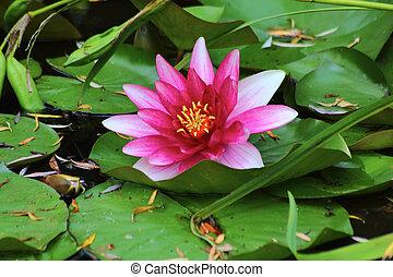 água, waterlily., vermelho, flower.