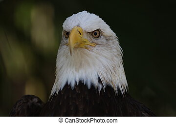 águia, americano, calvo