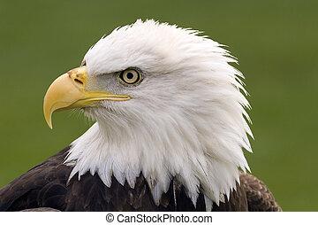 águia, calvo, retrato