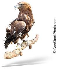 águia, madeira, sobre, isolado, ladrar, falcão, branca, capturado