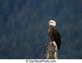 águia, observar