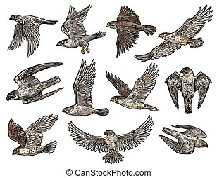 águia, pássaro, vulture, isolado, falcão, falcão