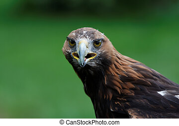 águia, retrato