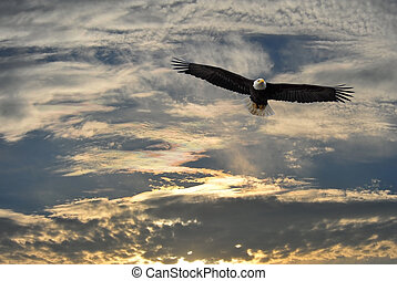 águia, sobre, calvo, alasca, voando