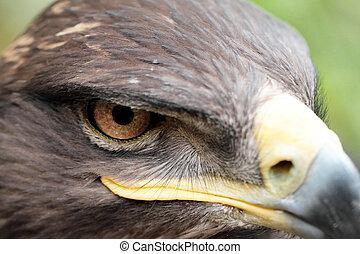 águia, steppe
