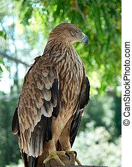 águila, árbol., halcón, sentado