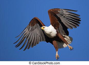 águila africana de los pescados