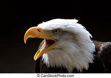 águila calva, con, pico, abierto