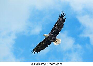 águila calva, en vuelo