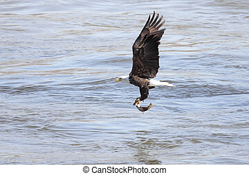 águila calva, pesca