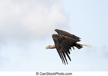 águila calva, vuelo
