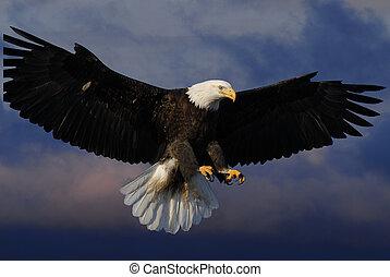 águila, calvo, cielos
