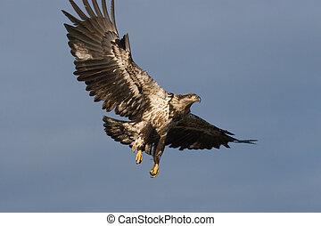 águila, calvo, joven, vuelo