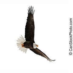 águila, calvo, leucocephalus), (haliaeetus