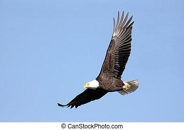 águila, calvo, vuelo