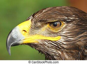 águila, con, amarillo, enganchado, pico, y, el, ojo atento