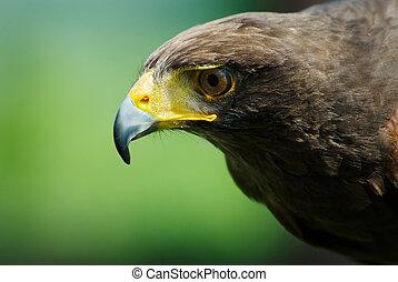 águila, estepa