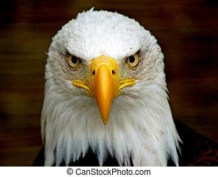 águila, negrita