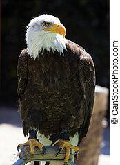 águila, norteamericano, calvo, norte
