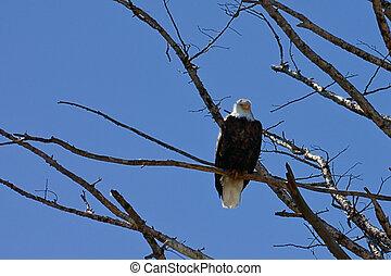águila, norteamericano, calvo, solitario