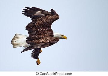 águila, norteamericano, calvo, vuelo