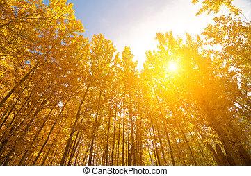 álamo temblón, árboles, en, otoño, estaciones