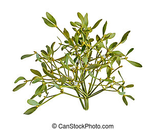 álbum, familia , muérdago, santalaceae, arriba, viscum, fruits, cierre, blanco, rama, baya