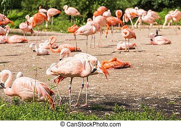 álló, flamingó, liget, madarak