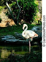 álló, flamingó