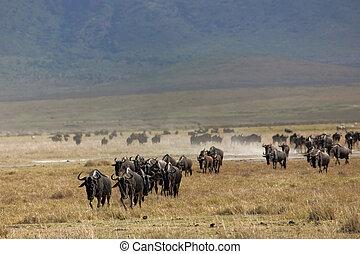 állatok, 071, wildebeest