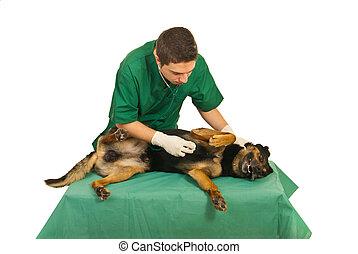 állatot megvizsgál, kutya, megvizsgál, orvos