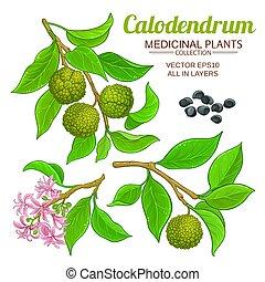 állhatatos, calodendrum, vektor