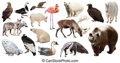 állhatatos, közül, észak-amerikai, animals., elszigetelt, white