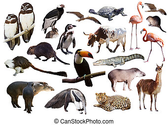 állhatatos, közül, dél-amerikai, állatok, felett, fehér